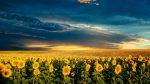 sunflower-field-background