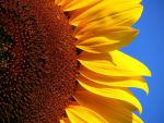 sunflower-player-window-background